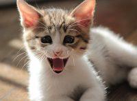 この画像は、サイトの記事「猫 鳴き声 ネットで話題 YouTube注目無料視聴動画ご紹介!」のイメージ写真画像として利用しています。