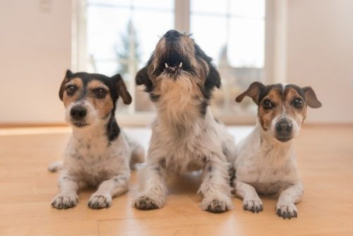 この画像は、サイトの記事「犬 鳴き声 ネットで話題 YouTube注目無料視聴動画ご紹介!」のイメージ写真画像として利用しています。