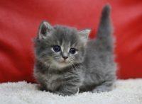 この画像は、サイトの記事「猫 マンチカン ネットで話題 YouTube注目無料視聴動画ご紹介!」のイメージ写真画像として利用しています。