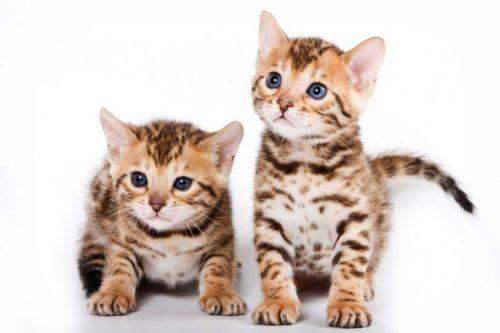 この画像は、サイトの記事「猫 ベンガル ネットで話題 YouTube注目無料視聴動画ご紹介!」のイメージ写真画像として利用しています。