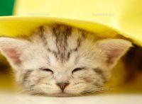 この画像は、サイトの記事「猫 アメリカンショートヘア ネットで話題 YouTube注目無料視聴動画ご紹介!」のイメージ写真画像として利用しています。