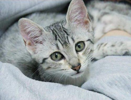 猫, 動画, 映像, 話題, 注目, おすすめ, 人気, YouTube, 無料, 視聴, 紹介, ランキング, まとめ, エジプシャンマウ