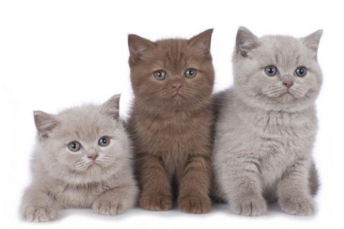 この画像は、サイトの記事「猫 ブリティッシュショートヘア ネットで話題 YouTube注目無料視聴動画ご紹介!」のイメージ写真画像として利用しています。