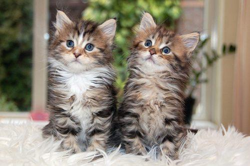 この画像は、サイトの記事「猫 メインクーン ネットで話題 YouTube注目無料視聴動画ご紹介!」のイメージ写真画像として利用しています。