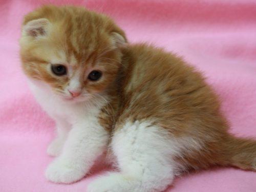 この画像は、サイトの記事「猫 スコティッシュフォールド ネットで話題 YouTube注目無料視聴動画ご紹介!」のイメージ写真画像として利用しています。