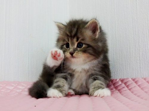 この画像は、サイトの記事「猫 ノルウェージャンフォレストキャット ネットで話題 YouTube注目無料視聴動画ご紹介!」のイメージ写真画像として利用しています。