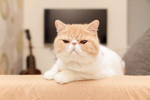 この画像は、サイトの記事「猫 エキゾチックショートヘア ネットで話題 YouTube注目無料視聴動画ご紹介!」のイメージ写真画像として利用しています。