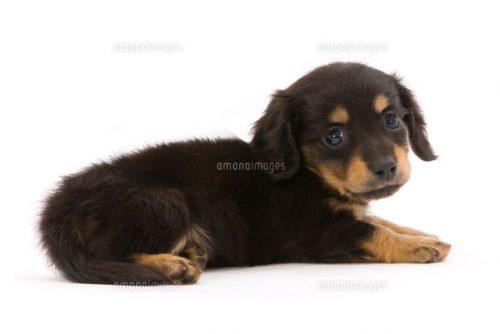 この画像は、サイトの記事「犬 可愛い ダックス ネットで話題 YouTube注目無料視聴動画ご紹介!」のイメージ写真画像として利用しています。