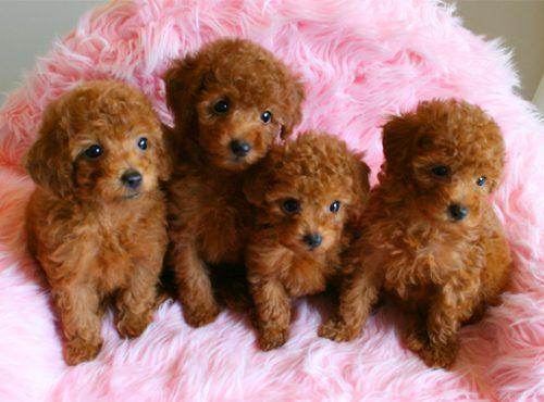 この画像は、サイトの記事「犬 かわいい トイプードル ネットで話題 YouTube注目無料視聴動画ご紹介!」のイメージ写真画像として利用しています。