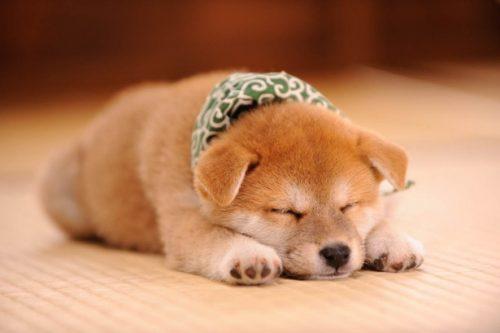 この画像は、サイトの記事「犬 かわいい 柴犬 ネットで話題 YouTube注目無料視聴動画ご紹介!」のイメージ写真画像として利用しています。