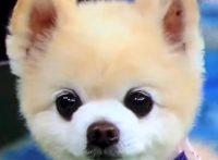この画像は、サイトの記事「犬 かわいい ポメラニアン ネットで話題 YouTube注目無料視聴動画ご紹介!」のイメージ写真画像として利用しています。