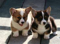この画像は、サイトの記事「犬 可愛い コーギー ネットで話題 YouTube注目無料視聴動画ご紹介!」のイメージ写真画像として利用しています。