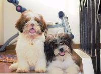 この画像は、サイトの記事「犬 鳴き声 シーズー ネットで話題 YouTube注目無料視聴動画ご紹介!」のイメージ写真画像として利用しています。