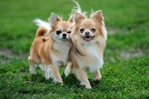 この画像は、サイトの記事「犬 鳴き声 チワワ ネットで話題 YouTube注目無料視聴動画ご紹介!」のイメージ写真画像として利用しています。